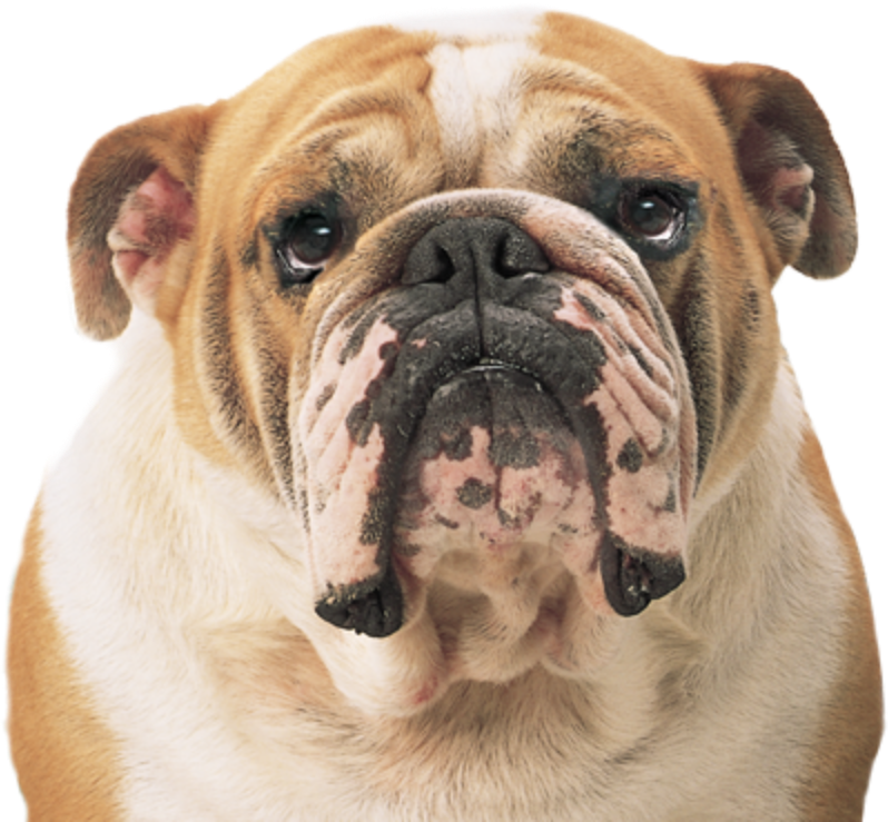 Bulldog Image